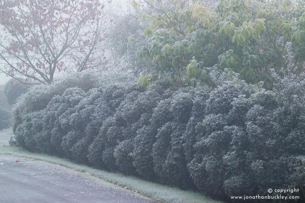 Cloud pruned hedge of Ilex aquifolium 'Alaska' - Holly