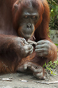 Bornean Orangutan <br /> Pongo pygmaeus<br /> Adult female using tools<br /> Tanjung Puting National Park, Indonesia