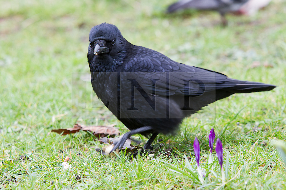 © Licensed to London News Pictures. 10/03/2013. London, UK. A wild raven is seen living in Wapping Woods, East London. Wild ravens have not been seen in London since around 1850. The identity of the bird, believed to be a female, was confirmed on 10 March 2013 by Chris Skaife, the Ravenmaster at the nearby Tower of London and Nathan Emery, a lecturer and biology researcher into 'feathered apes' at Queen Mary College, University of London. The bird, has been nicknamed Veronica by local residents and some now believe they first saw the raven in the area in 2012 although the significance of a wild raven in London living outside the Tower of London was not realised at the time. Photo credit : Vickie Flores/LNP