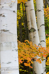 Paper birch trees, Betula papyrifera, in fall in Grafton Notch State Park, Maine.