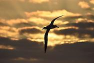 Northern Royal Albatross - Diomedea sanfordi