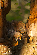Great Horned Owls at nest site in Defiance, Ohio, USA