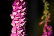 Foxglove (Digitalis purpurea) flowers in the Green Mountain state Forest on the Kitsap Peninsula of Puget Sound, Washington state, USA.