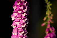 Foxglove (Digitalis purpurea) flowers in the Green Mountain state Forest on the Kitsap Peninsula of Puget Sound, Washington state, USA.