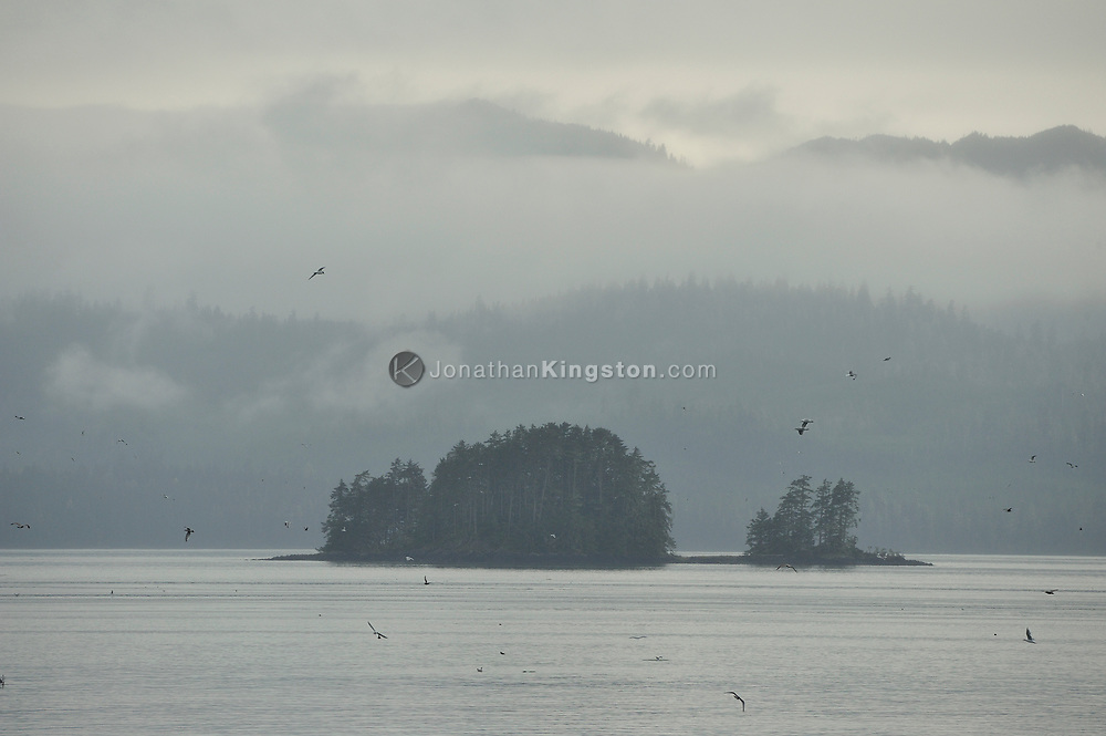 Gulls fly over the waters of the inside passage near Petersburg, Alaska, on a foggy day.