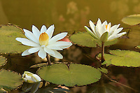 Close-up of a white flowering  Water Lilies (Nymphaea).