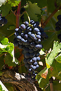 Ysios black grapes for Rioja red wine at winery at Laguardia in Rioja-Alaveda area of Basque country, Spain