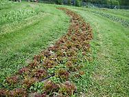 Harmony Farm, Goshen, NY  - lettuce