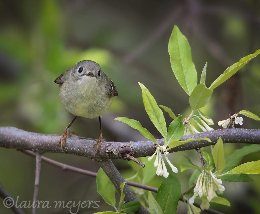 Ruby-crowned Kinglet on branch with flowers and leaves at Magee Marsh in Ohio.