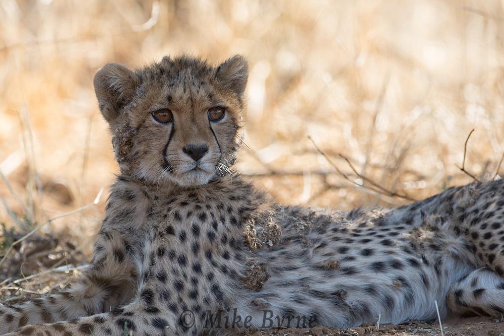Cheetah at Erindi, Namibia.
