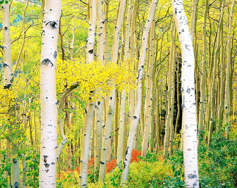 autumn aspen grove, Brighton, Utah