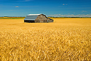Barn and wheat<br />