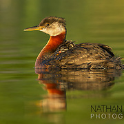 Red-necked grebe with chicks riding on back;  MInnesota.