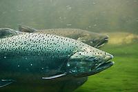 Steelhead and Chinook Salmon seen underwater swimming up the fish ladder at the Hiram M. Chittenden Locks in Seattle, Washington, USA.