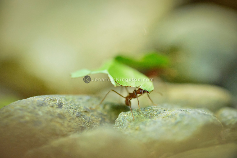 A leafcutter ant (Atta cephalotes) carrying a large leaf in Manuel Antonio National Park, one of the smallest and most visited parks in Costa Rica.