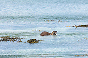 Sea Otter, Lutra lutra, carnivorous semi-aquatic mammal, feeding on conger eel at side of loch on Isle of Mull in the Inner Hebrides and Western Isles, West Coast of Scotland