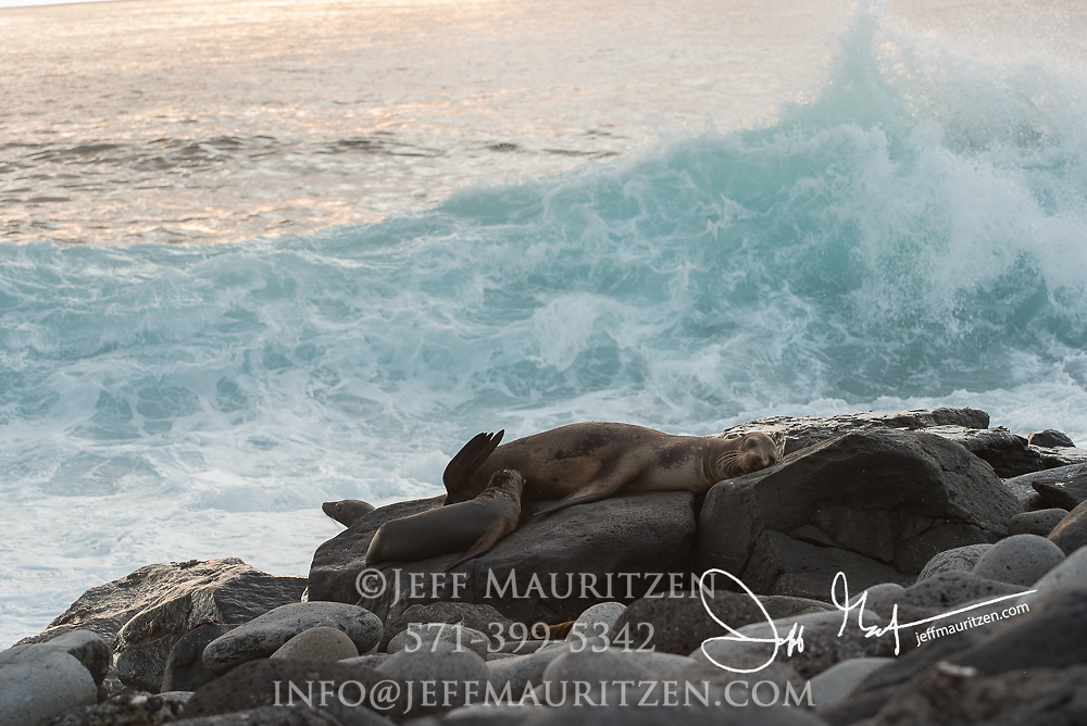 A Galapagos sea lion pup nurses from its mother while waves crash nearby on Espanola island, Galapagos islands, Ecuador.