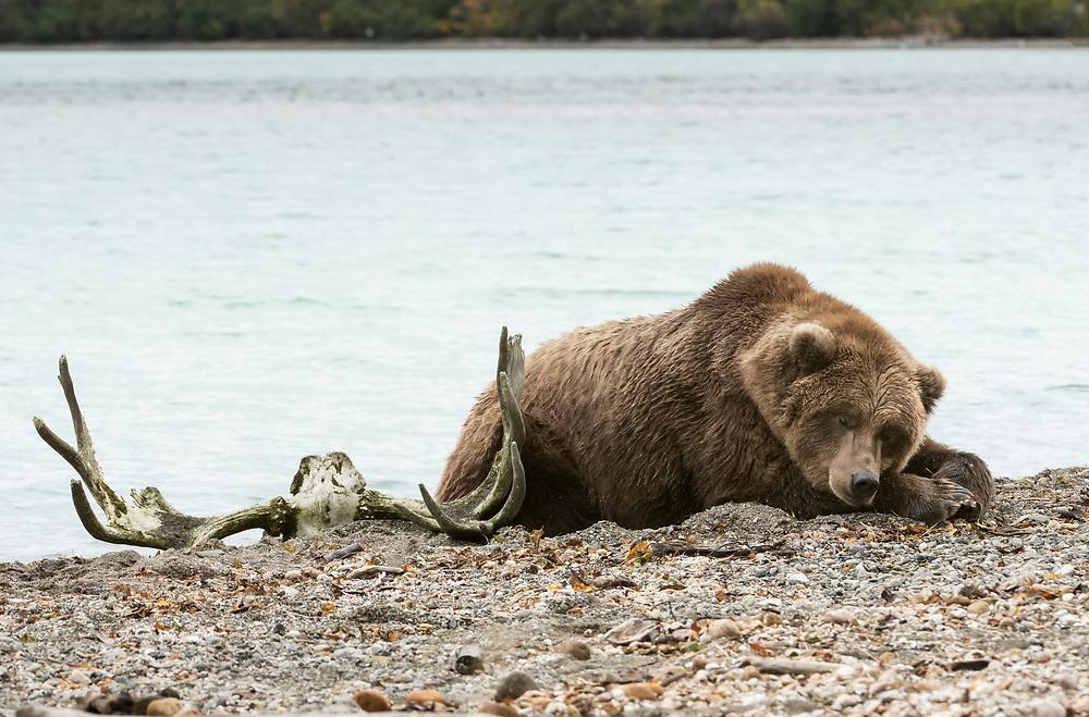 North America; United States; Alaska; Katmai National Park; Autumn; Wildlife; Mammals; Brown Bear; Ursus arctos; Moose antlers.