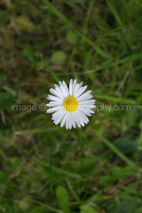 Daisy flower in grass