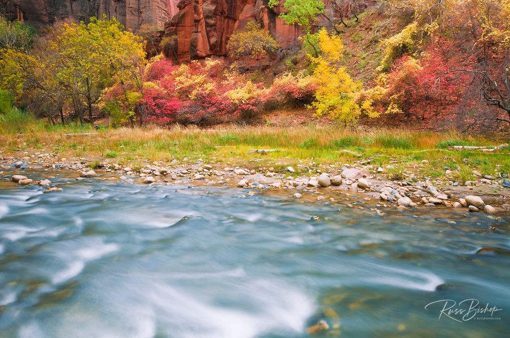 Fall color along the Virgin River in Zion Canyon, Zion National Park, Utah