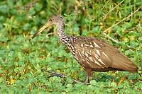 Limpkin (Aramus guarauna), Arthur R Marshall National Wildlife Reserve - Loxahatchee, Florida, USA