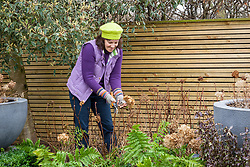 Pruning hydrangeas in spring - removing last year's flower stems.