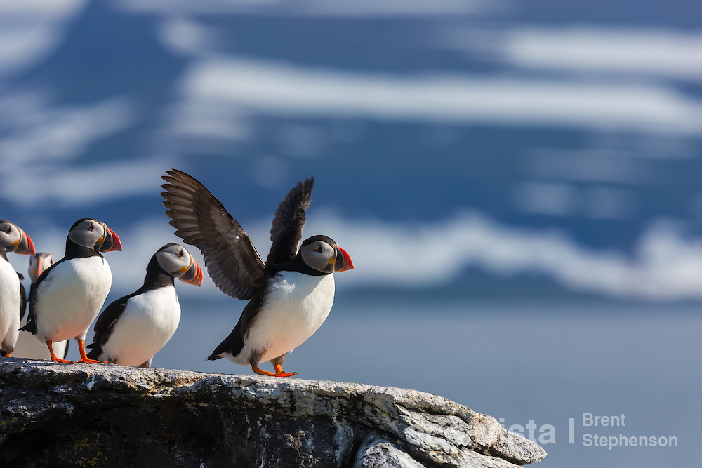An Atlantic puffin (Fratercula arctica) stands on a rock overlooking the sea, flapping its wings, with other puffins nearby. Vigur Island, Isafjardardjup, Iceland. July.
