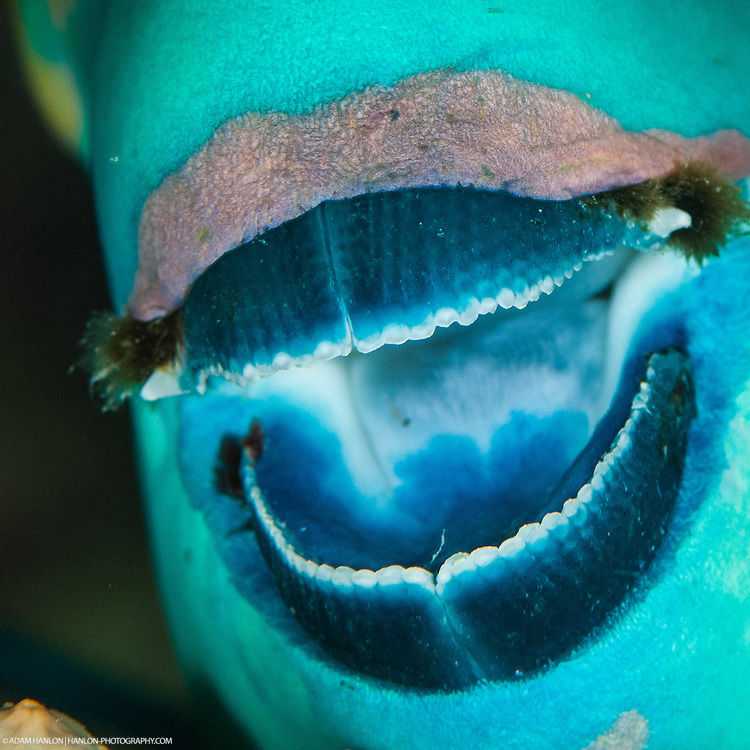 A rusty parrotfish (Scarus ferrugineus) displays its amazing mouth parts. These form the major component that parrotfishes use for their duties as the constant gardeners of the reef. They play a crucial role in keeping it healthy, suppressing weed, removing sediment and helping the corals to regrow after a setback.