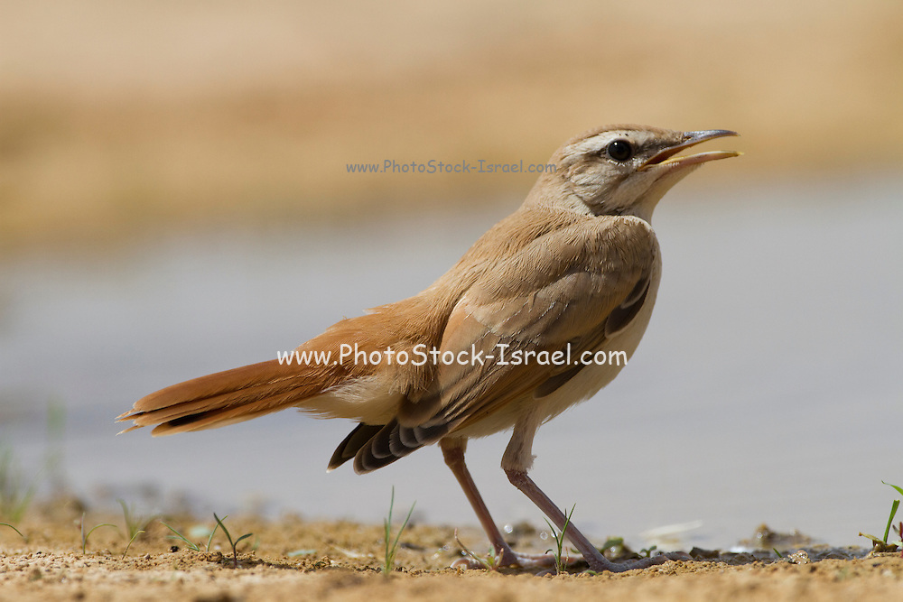 Rufous Bush Robin (Cercotrichas galactotes) near water, negev desert, israel