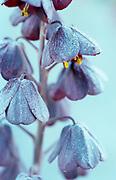 Fritillaria persica - Persian lily