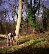 A01XD0 Sequence of nine Man cutting down an ash tree in English woodland