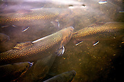 Trout Stream - North Carolina