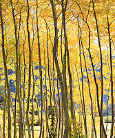 I took this abstract photo of fall aspen tree patterns in the Sierra Nevada Mountains.  I backlit the image to bring out the rich yellow autumn forest colors.