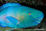 sleeping bicolor parrotfish or ember parrotfish, Scarus rubroviolaceus, supermale, at night, Galapagos Islands, Ecuador  ( Eastern Pacific )
