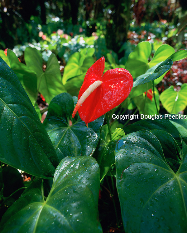 Anthurium, Island of Hawaii, Hawaii, USA