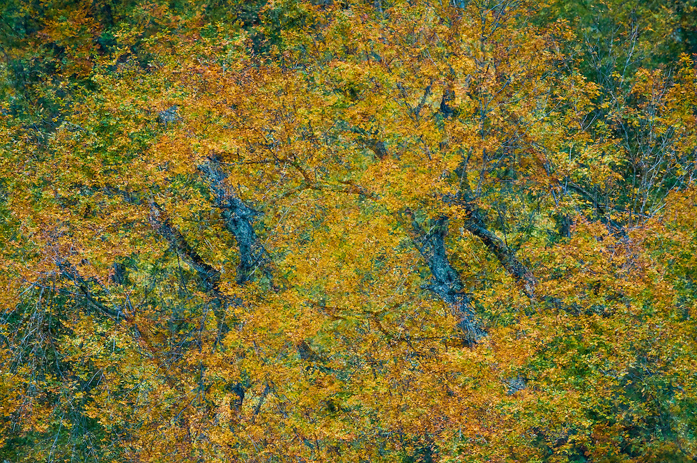Multiple exposure of two photographic images of the same trees in fall colors in the Adirondacks