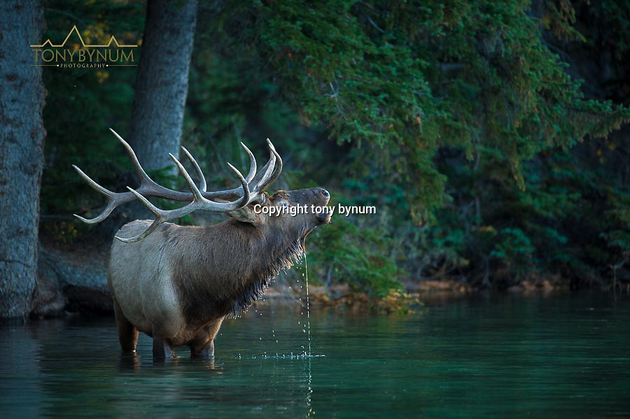 bull elk drinking water in mountain lake