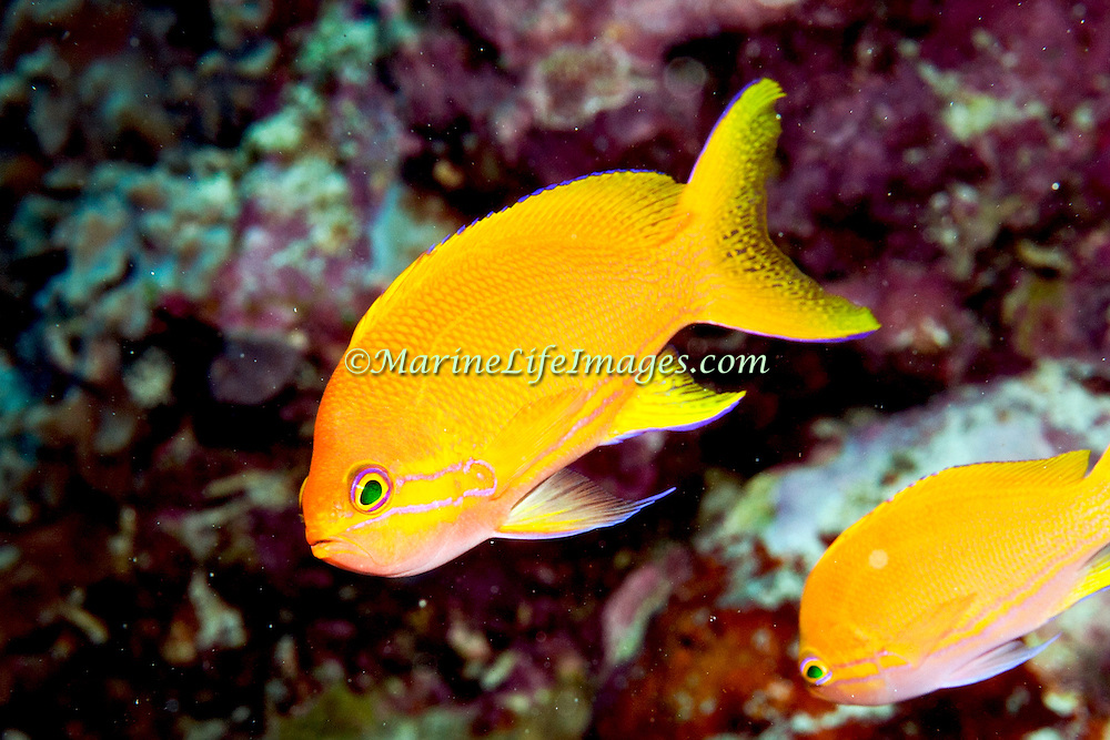 Squarespot Anthias inhabit reefs. Picture taken Banda, Indonesia.