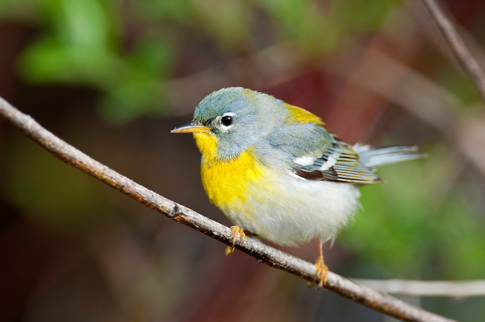 Northern Parula, Setophaga americana, female, Tawas Point, Michigan