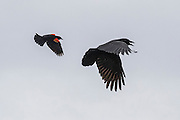 A red-winged blackbird (Agelaius phoeniceus) chases an American crow (Corvus brachyrhynchos) over the Edmonds Marsh in Edmonds, Washington.