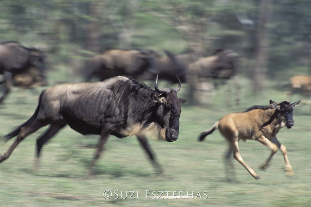 Wildebeest<br /> Connochaetes taurinus<br /> Female running with calf<br /> Ngorongoro Conservation Area, Tanzania