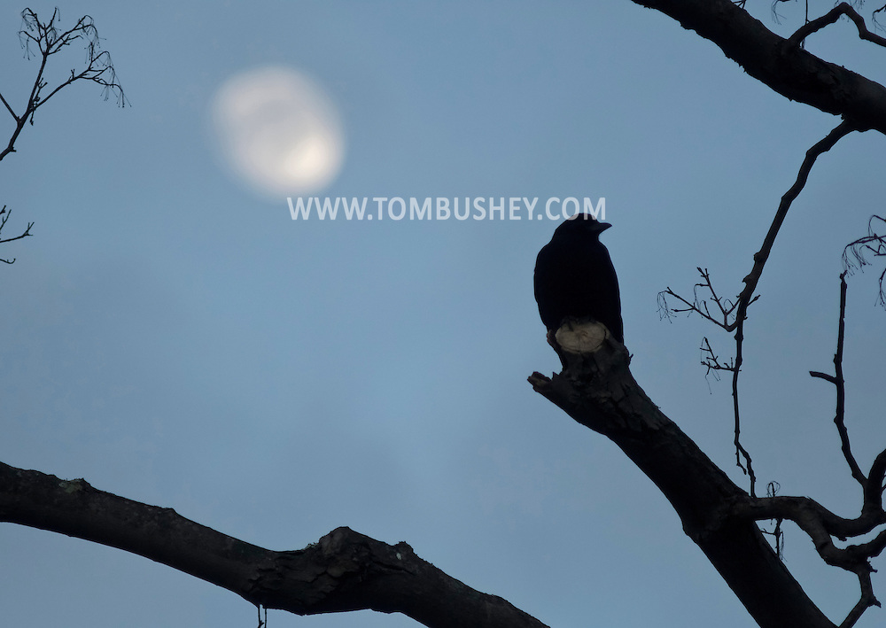 Middletown, New York - A crow (Corvus brachyrhynchos) perches on a tree branch with the moon in the background at twilight on Feb. 4, 2012.