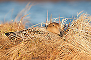 Common Eider, Somateria mollissima v-nigra, female on nest, Yukon Delta NWR, Alaska