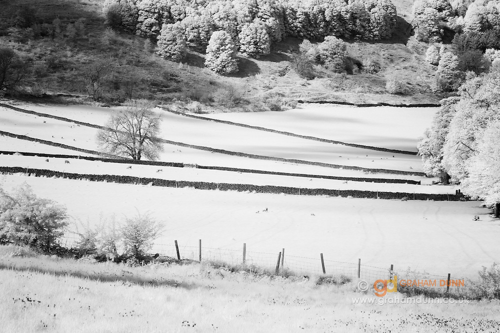 Infrared capture of field patterns below Hassop Common, featuring grazing sheep and drystone walls. Hassop, Peak District National Park, Derbyshire, England, UK.