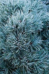 Frost on Pinus pumila 'Blue Globe' in winter