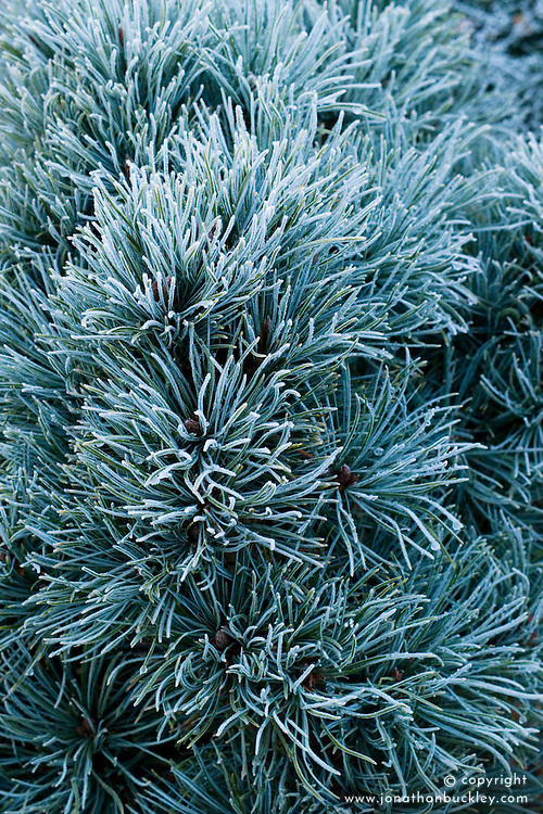 Frost on Pinus pumila 'Blue Globe' in winter