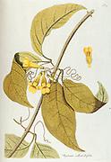 Hand painted botanical study of Bignomia flower anatomy from Fragmenta Botanica by Nikolaus Joseph Freiherr von Jacquin or Baron Nikolaus von Jacquin (printed in Vienna in 1809)
