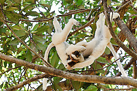 A pair of Verreaux's sifaka playing in a tree, Nahampoana Reserve, Fort Dauphin, Madagascar.