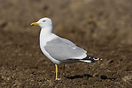 Yellow-legged Gull - Larus michahellis. L 52-60cm. Similar plumage to Herring Gull but adult has yellow legs. Typically, consorts with other large gull species. Sexes are similar. Adult in summer has grey back and upperwings (darker than Herring Gull) with more black and less white in wingtips. In winter, similar, sometimes with small dark streaks on head. Juvenile and 1st winter have grey-brown back and wing coverts, and otherwise dark wings. Head, neck and underparts are streaked, are paler than similar age Herring Gull. Adult plumage acquired over 3 years. Voice Similar to Herring Gull but perhaps more nasal. Status S European counterpart of Herring Gull and a rather scarce non-breeding visitor to Britain and Ireland. Most frequent in winter.