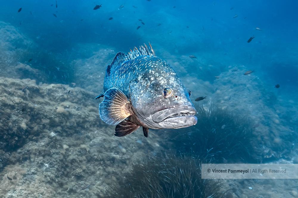 Dusky grouper-Mérou brun (Epinephelus marginatus) of mediterranean sea.